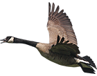 canada_goose_guided_hunts