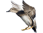 gadwall_guided_hunts