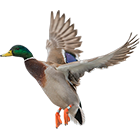 mallard_guided_hunts