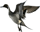 northern_pintail_guided_hunts