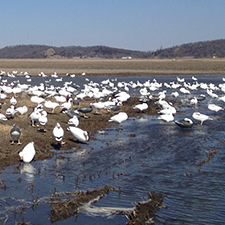 nebraska-spring-snow-goose-hunts