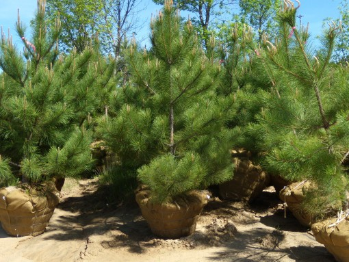 Norway Pine Pinus Resinosa Mn Icon