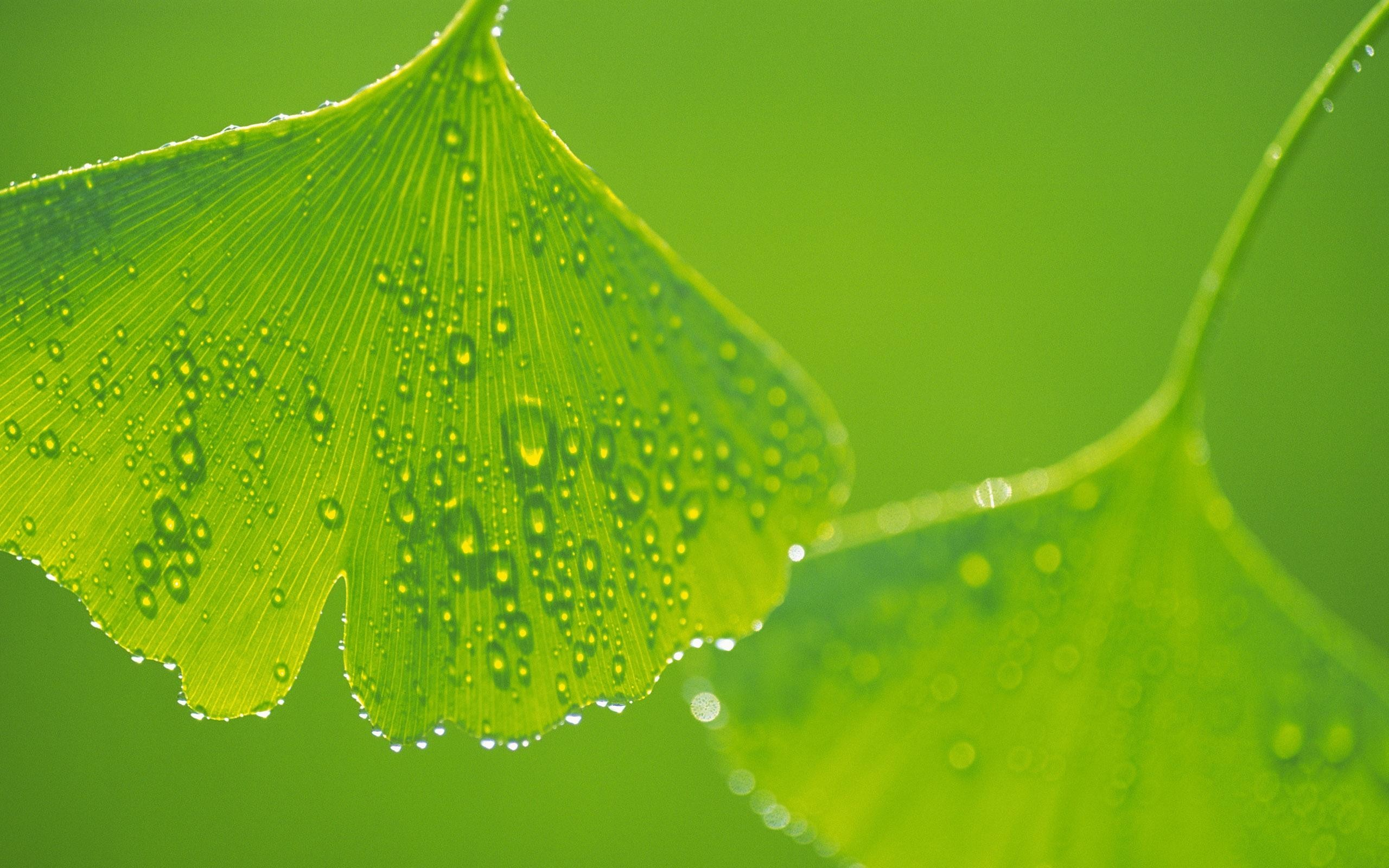 Beautiful_Water_Drops_on_Gingko Leaf
